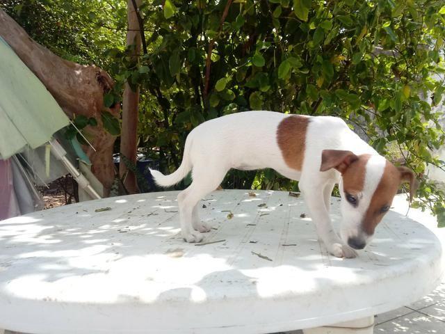 "Filhote Fêmea Jack Russell Terrier - ""Cachorro do Máscara"" com Pedigree - Foto 6"