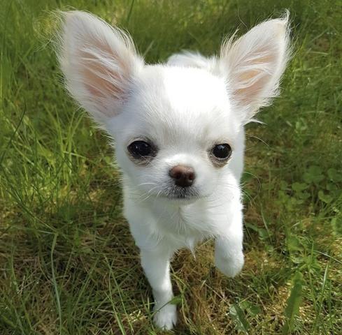 Chihuahua cores exóticas a pronta entrega - Foto 3