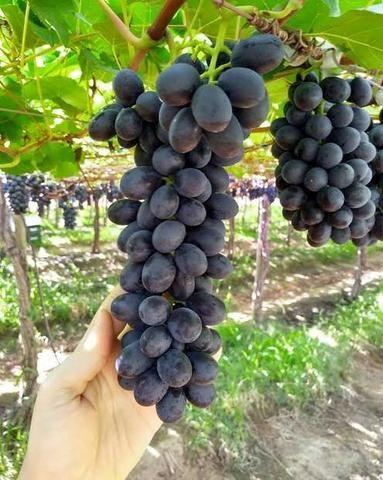 Mudas de uva sem semente (videira) - BRS Vitória