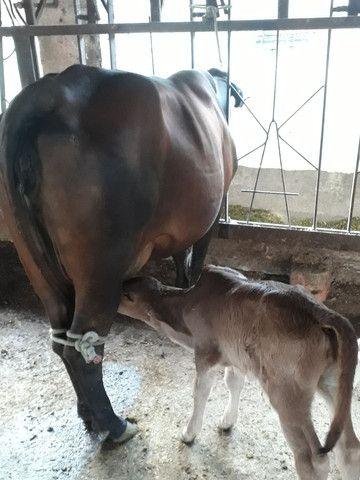 Vaca Girolanda com Bezerra ao Pé - Foto 2