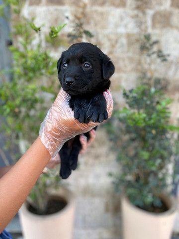 Labrador preto, chocolate & amarelo!