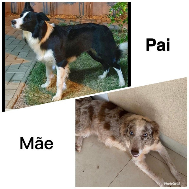 Cachorro - border collie macho - Foto 3