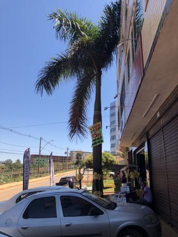 Vendo palmeira imperial 8 metros 2 unidades 2 mil cada, retirada por conta do comprador