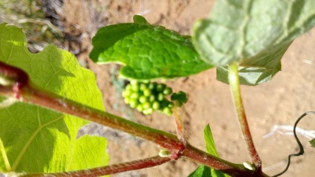 Mudas de uva sem semente (videira) - BRS Vitória - Foto 4