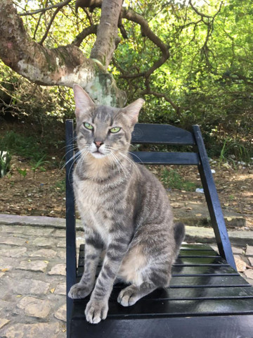 Gato Castrado para Adoção - Foto 3