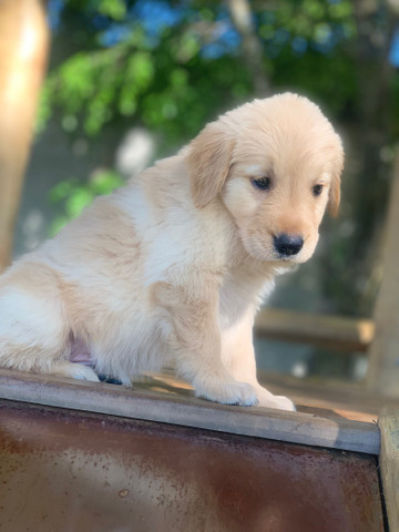 Macho de Golden retriever excelente linhagem  - Foto 3