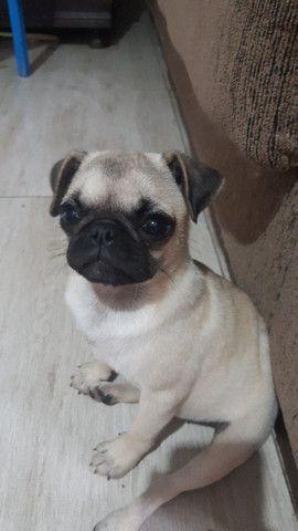 Pug fêmea - Foto 2