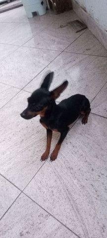 vendo um cachorrinho pincher n 1 vai fazer 1 ano em abril - Foto 3