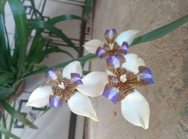 Vendo muda dessa linda planta  - Foto 3