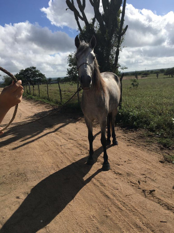 Cavalo Mangalarga Macha picada