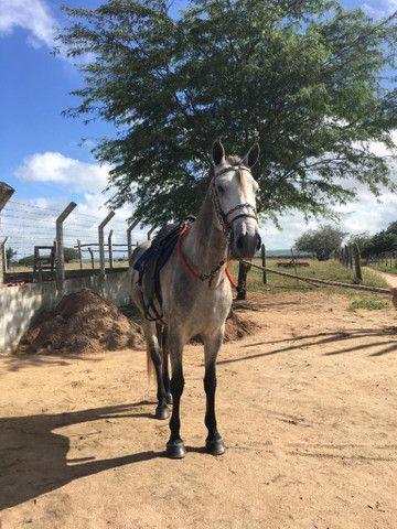 Cavalo Mangalarga Macha picada - Foto 3