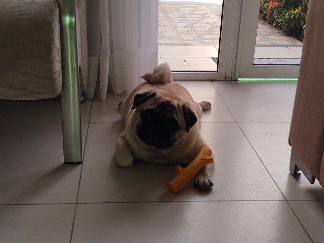 Belíssimo Pug disponível para cruza - Foto 2
