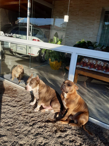 American staffordshire terrier - Foto 4