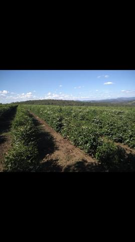 Terreno de café - Foto 2