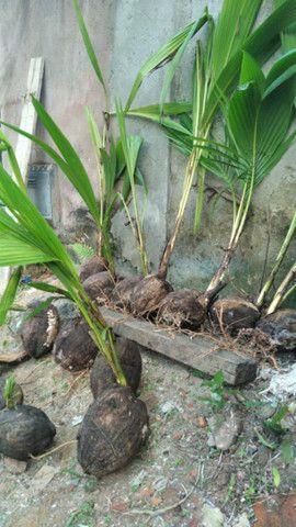 Promoção imperdivel - 12 Muda de Coqueiro Grande - Foto 3