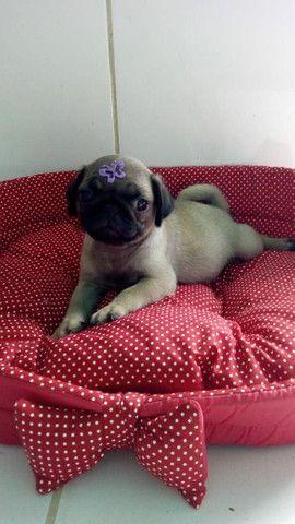 Pug fofa disponível com pedigree