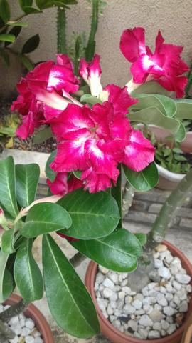 Rosa do deserto - Foto 3