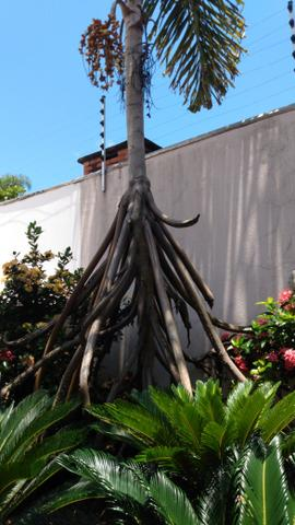 Sementes de palmeira que anda - Foto 2