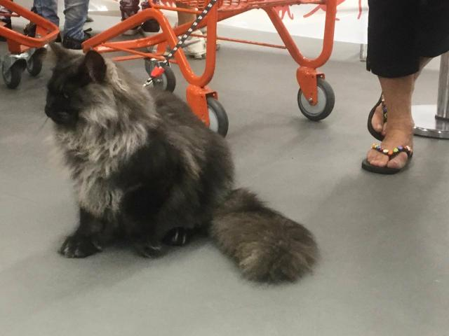Maine coon gatil perfect giants