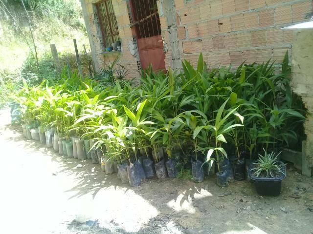 Venda de palmeiras - Foto 2