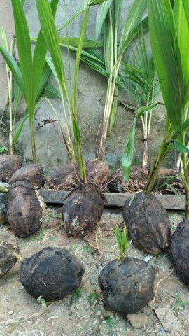Promoção imperdivel - 12 Muda de Coqueiro Grande - Foto 2