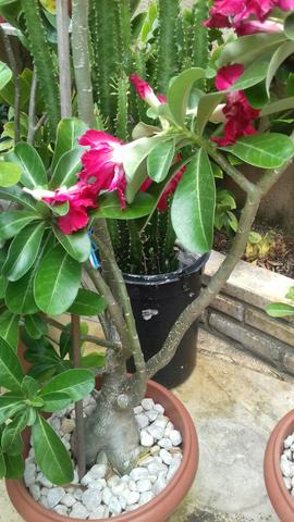 Rosa do deserto - Foto 2