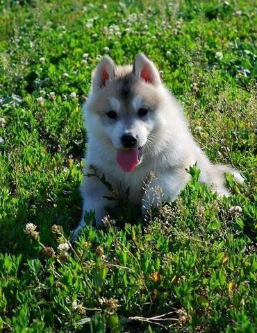 Venda permanente de filhotes de husky siberiano, canil ps