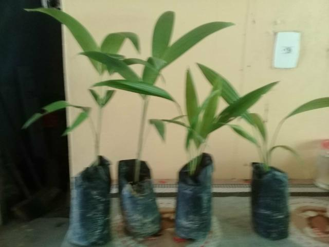 Venda de palmeiras - Foto 4