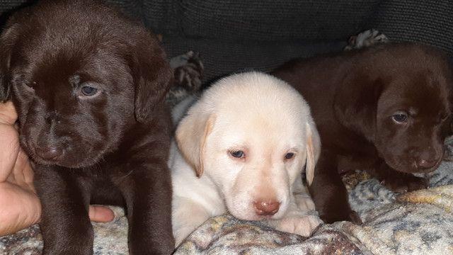 Filhotes de labrador - Foto 3