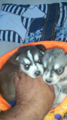 Filhote de husky siberiano raça pura - Foto 3