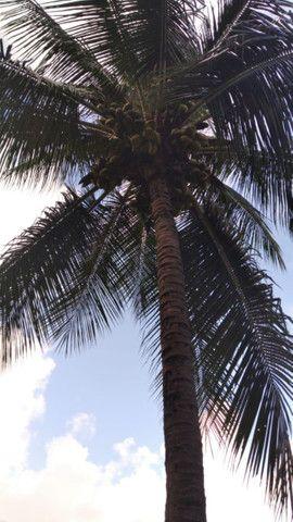 Promoção imperdivel - 12 Muda de Coqueiro Grande - Foto 4