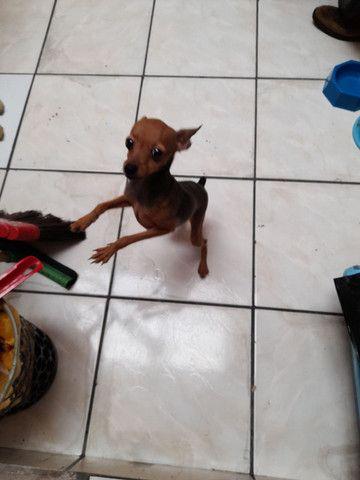 Cachorro pinscher  - Foto 4