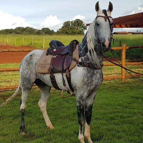 Cavalo Mangalarga Marchador Ninja do Nilo(campeão)