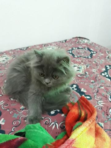 Vendo esse lindo gato persa