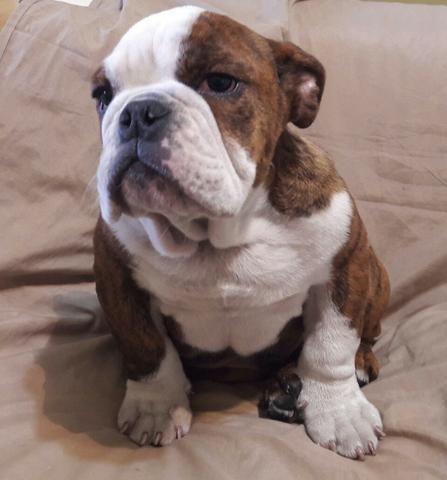 Bulldog Inglês Bulldog Ingles maravilhosos