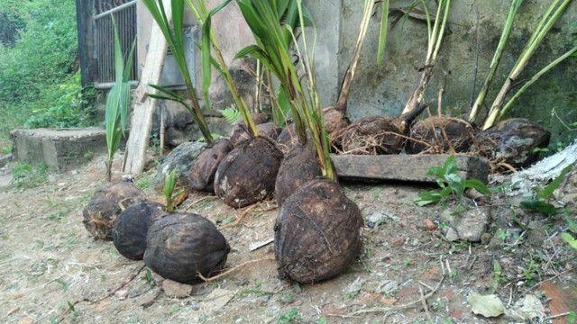 Promoção imperdivel - 12 Muda de Coqueiro Grande