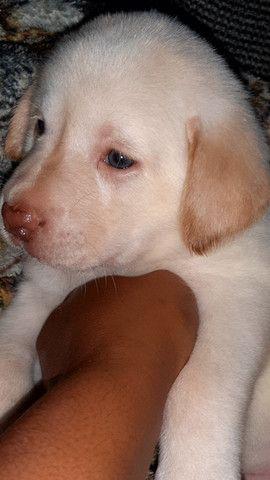 Filhotes de labrador - Foto 2