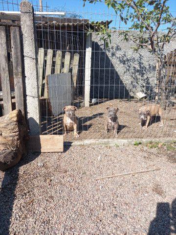 American staffordshire terrier - Foto 2