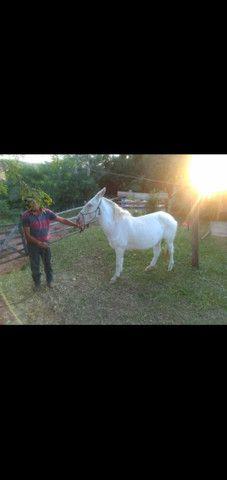 Vendo cavalos e burro  - Foto 3