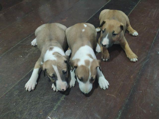 Bull terrier. ( inglês ) - Foto 3