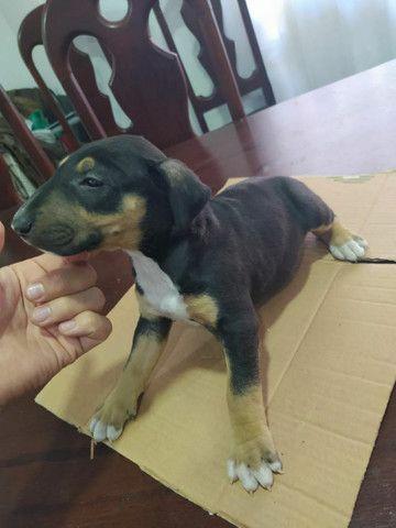 Bull terrier. ( inglês ) - Foto 5