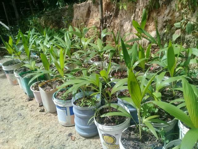 Venda de palmeiras - Foto 3