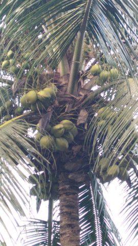 Promoção imperdivel - 12 Muda de Coqueiro Grande - Foto 6