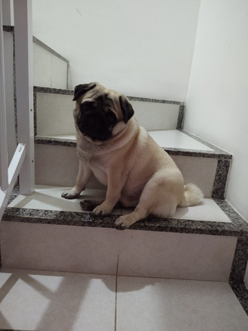 Belíssimo Pug disponível para cruza - Foto 4