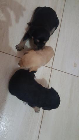 Vende-se 2 cachorros da raça pinscher com poodle!!