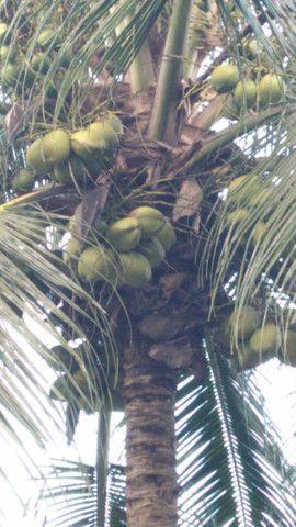 Promoção imperdivel - 12 Muda de Coqueiro Grande - Foto 5
