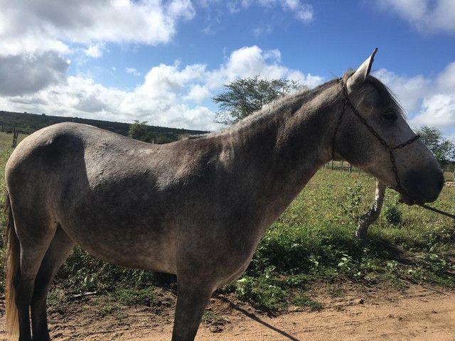 Cavalo Mangalarga Macha picada - Foto 6