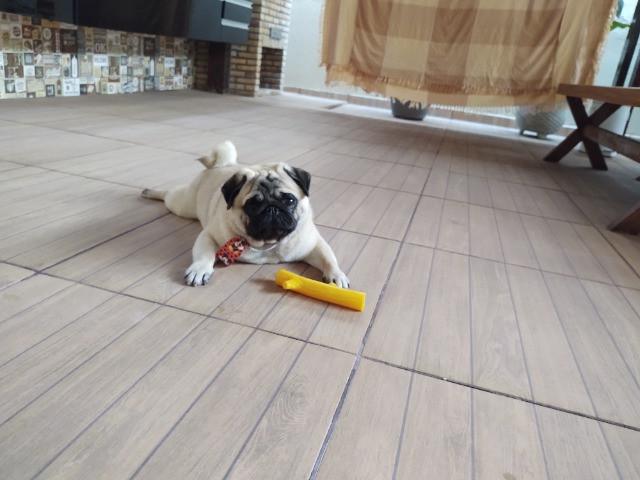 Belíssimo Pug disponível para cruza - Foto 3