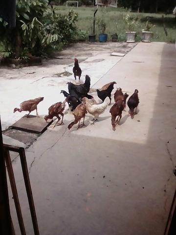 Vendo 12 galinha caipira