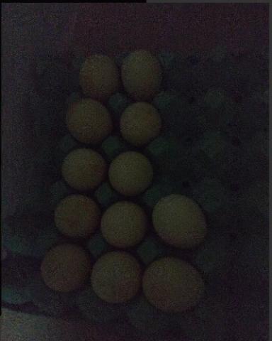 Ovos Férteis Índio Gigante